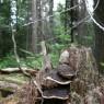 (2009-08) Stump Fungi