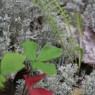 (2006-08) Reindeer Lichen