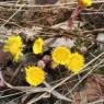 (2007-05) Coltsfoot