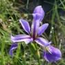 (2007-06) Purple Iris At Beaver Pond 1