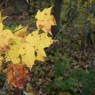 (2008-10) Yellow Leaves