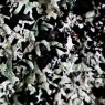 (2008-11) Lichen