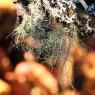 (2009-09) Beard Lichen