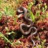 (2007-06) Garter Snake At Beaver Pond