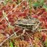 (2007-06) Leopard Frog